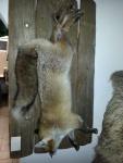 Fuchs Stilleben
