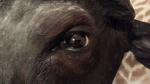 Kaffernbüffel Auge (Licht)