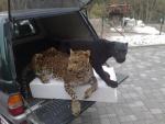 Leopard und schwarzer Leopard für Tierpark Scherzer