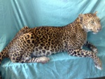 Leopard für das Museum Scherzer, Feld am See